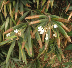 Oleander_Leaf_Scorch_with_border